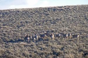 Mule deer near Baggs