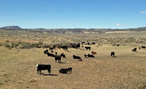 Here are even more calves, bless 'em, near Powder Mountain