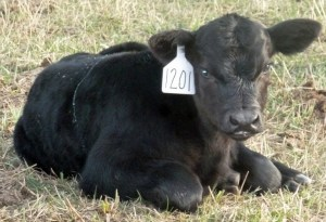 A new calf sporting a new eartag