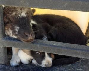 lamb and pup