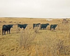 the little bulls at Powder Flat