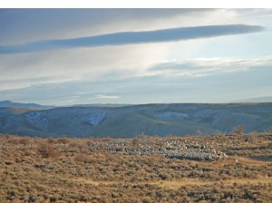 Ewes on the reservoir, ready to trail north