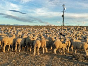 ewes near the communication towers, Badwater Pasture