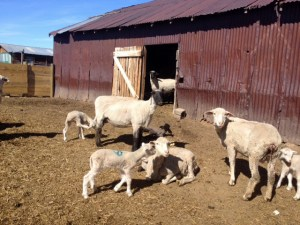 Ewes and lambs enjoying the sunshine