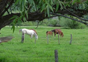Mares and colts