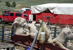 Lambs in the Dinkum Docker