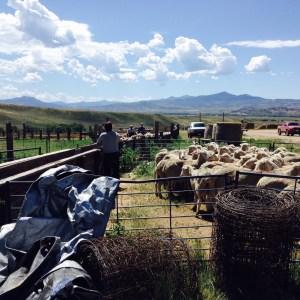 loading ewes