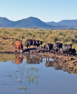 Cows and calves in Upper Big Gulch