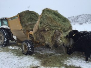 cows with hay feeder