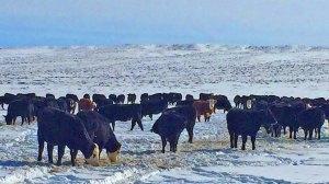 Heifers on the grub line
