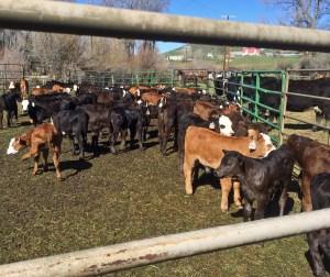 calves in waiting