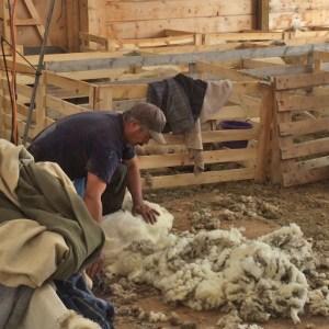 Ciro shearing first ewe