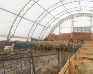 unshorn ewes in shed