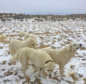 Livestock Guardian Dogs on the job in the Red Desert