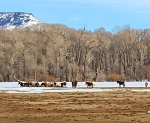 horses in the Wyoming Field