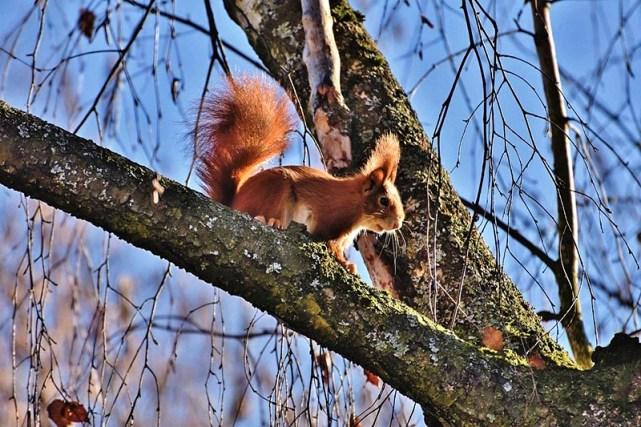 écureuil sur une branche dans le parc de la demeure du grand moulin