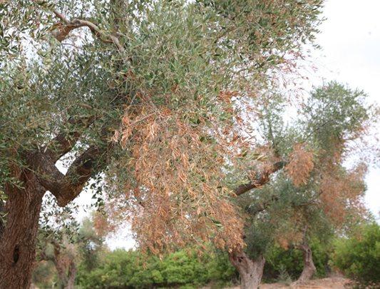 Xylella: Coldiretti, batterio è arrivato in Provincia di Bari