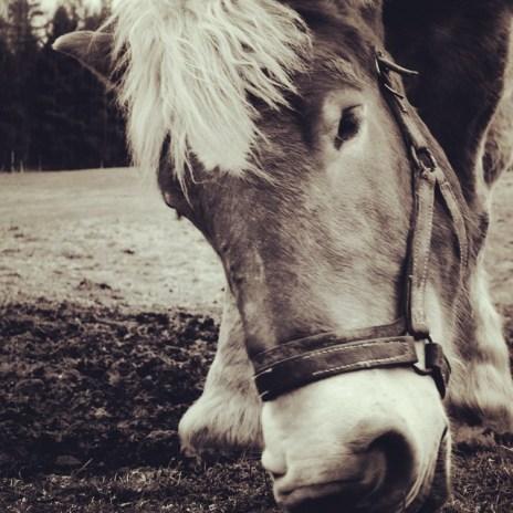 kruklin konie