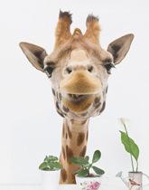naklejka żyrafa głowa