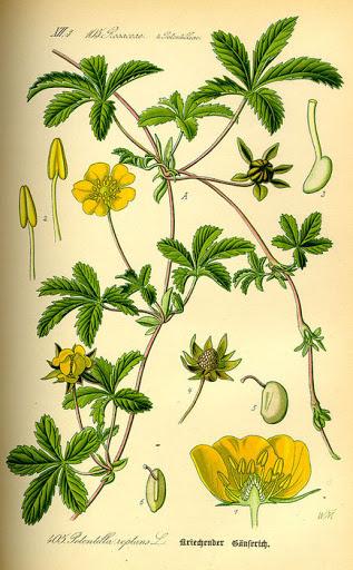 atlas roślin Linneusza