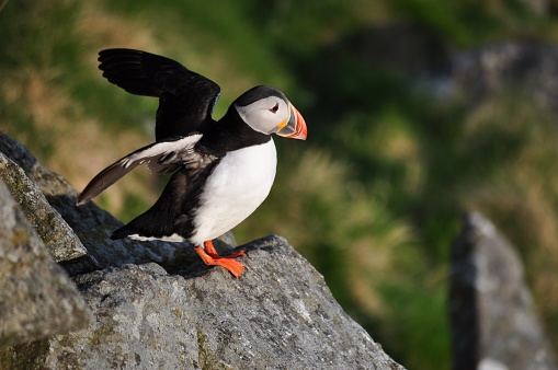 Puffin, o papagaio do mar, mora na Runde Island, no mar da Noruega