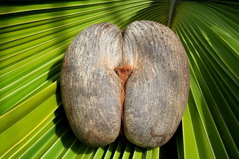 Coco de mer, o maior coco do mundo, chega a pesar 30 kg
