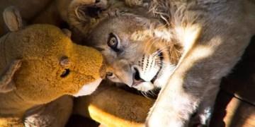 filhote de leão russia