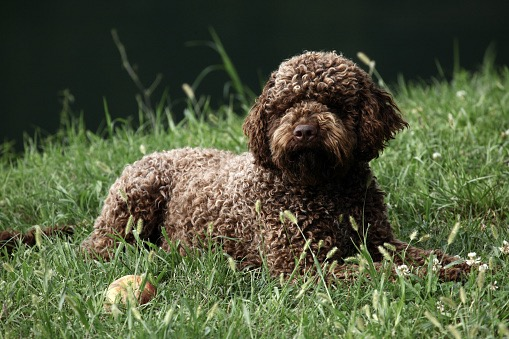 lagotto dog