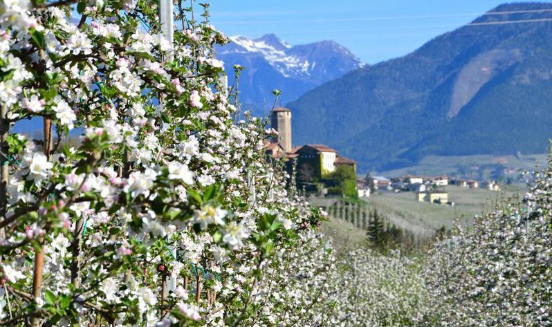 Meleti in fiore in Val venosta