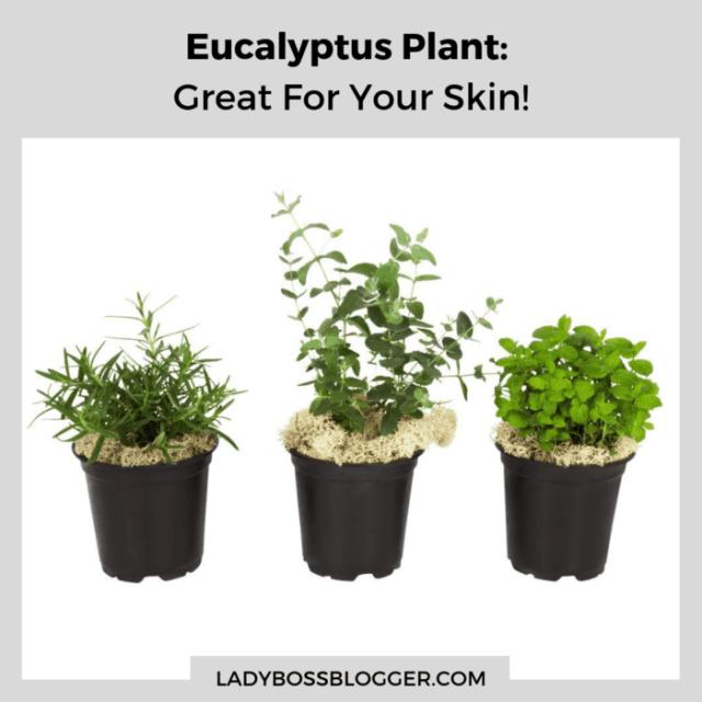 Eucalyptus plant ladybossblogger