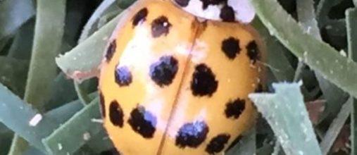 About Ladybug