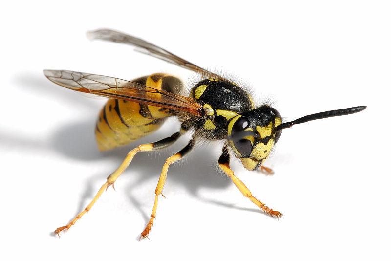 800px-European_wasp_white_bg02