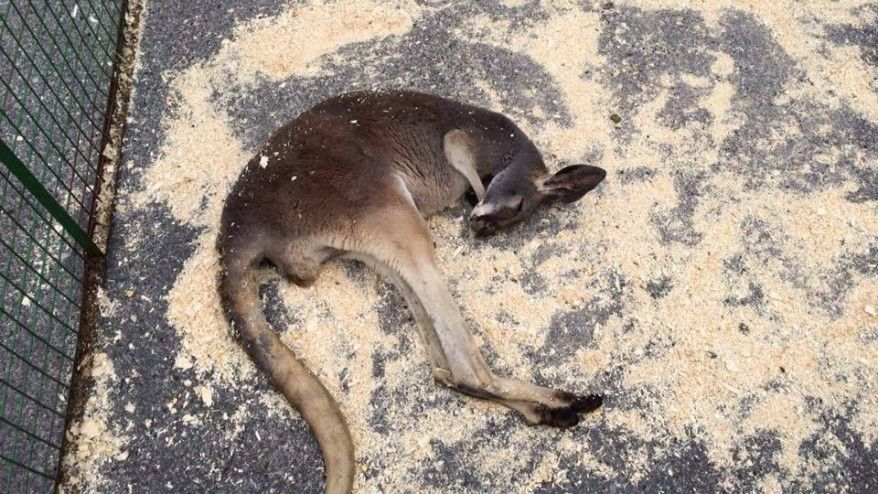 Kangaroo Left Baking in the Sun Collapses from Heat Stroke at Petting Zoo