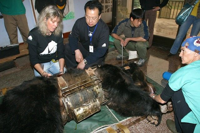 Bear Freed From 'Torture Vest' Now Living the Good Life