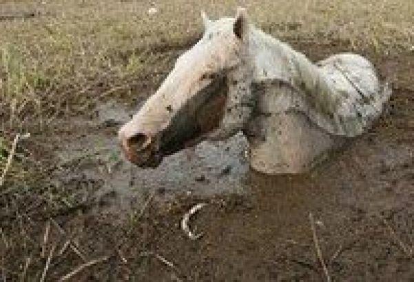 horse stuck in mud