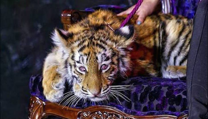 Tiger Cub Drugged, Paraded Around Casino Opening