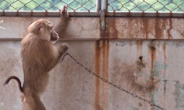 Monkey Brothers Enslaved on Hotel Rooftop Finally Know what Freedom Feels Like