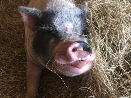 Ernie the pig at Rooterville sanctuary