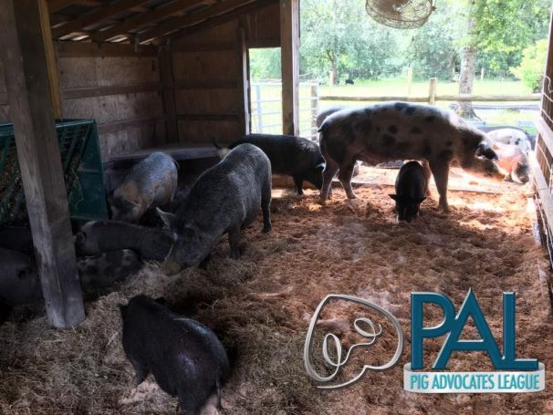 Polk Pigs resting, eating, and relaxing.