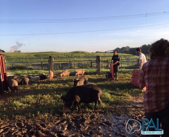 Polks Pigs transferring to Rooterville and settling in.