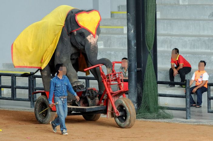 Elephant held in captivity performing on bike in Thailand.