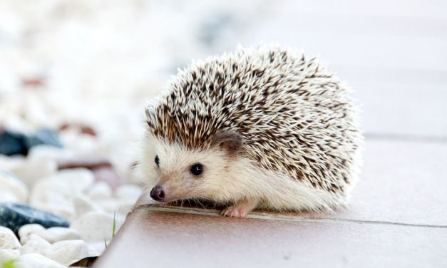 This Hospital is Flooded with Hedgehog Patients