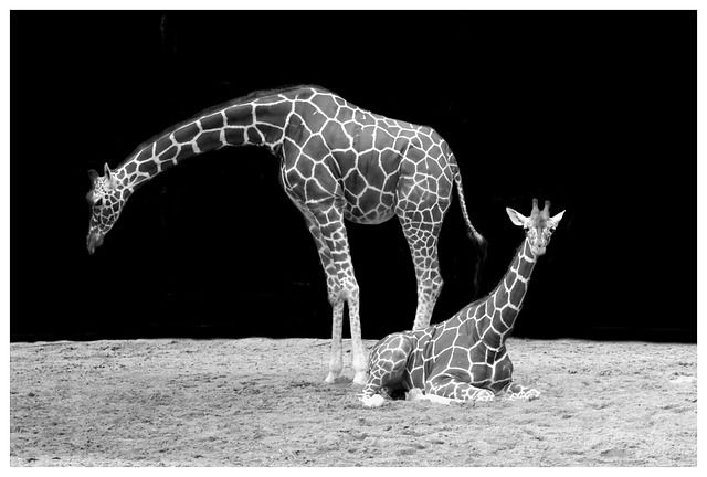 Giraffes at Risk! Why There are Now Fewer Giraffes Than Elephants Left in the Wild