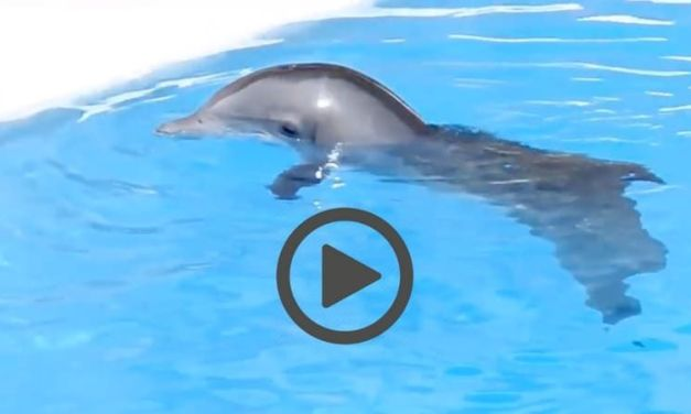 Sad, Lonely Baby Dolphin Shows True Cruelty of Marine Parks (VIDEO)