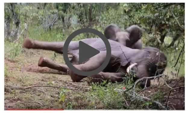 Baby Elephant Rescued After Mother Shot Right in Front of Him