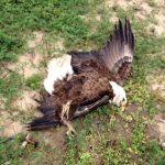 Lead-Ammo Ban Reversal Puts Bald Eagles in Peril