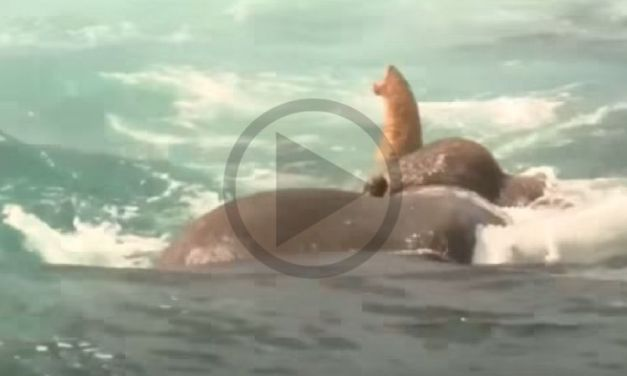 VIDEO: Elephant Washed 10 Miles Out to Sea Saved from Drowning