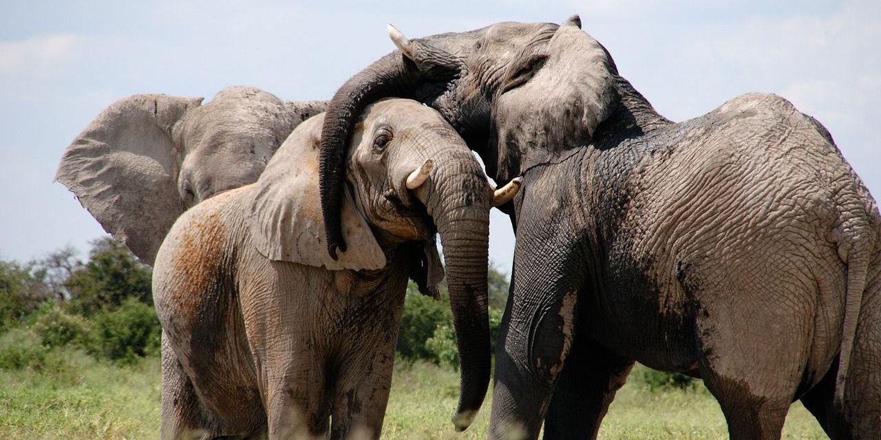 Elephant Picks Lock to Help Friend Escape Circus World Enclosure