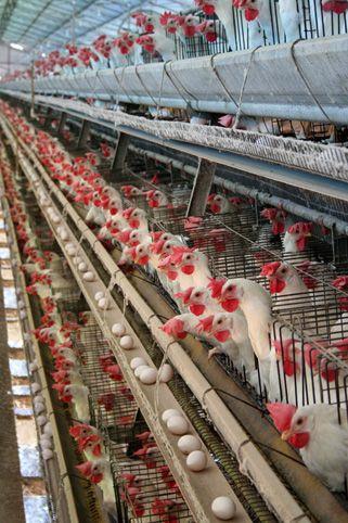 Caged chickens in Bastos, São Paulo, Brazil.