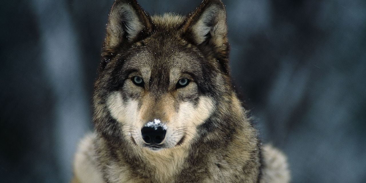 Victory! Great Lake Wolves will Stay on Endangered Species List